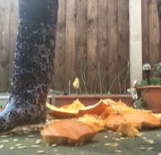 Arikajira Crush Smashes Pumpkins Wellie